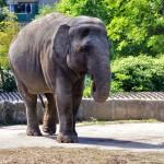 Цейлонский слон 2