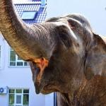 Цейлонский слон 1