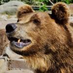 Бурый медведь 5