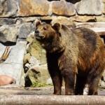 Бурый медведь 1