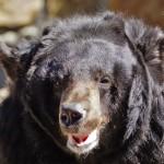Уссурийский белогрудый (гималайский) медведь